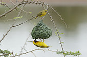 Southern Masked Weaver (Ploceus velatus) Couple at nest., Kruger NP, South Africa