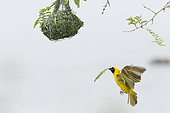 Southern Masked Weaver (Ploceus velatus) male bringing materials to finish nest building, Kruger NP, South Africa