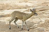 Klipspringer (Oreotragus oreotragus) male walking on a rock, Kruger NP, South Africa
