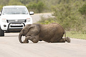 African elephant (Loxodonta africana) baby elephant lying down on the road, Kruger NP, South Africa