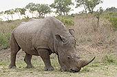 White Rhinoceros (Ceratotherium simum) grazing, Kruger NP, South Africa