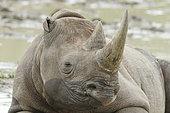 Portrait of Black Rhinoceros (Diceros bicornis), Kruger NP, South Africa