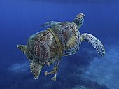 Green turtle entangled with a nylon rope that as already deformed it's carapace. Sea animals can't defend themselves from those synthetic traps that don't degrade underwater. Mediterranean Digital composite. Composite image