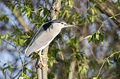 Night Heron (Nycticorax nycticorax) on a branch, Danube Delta, Romania