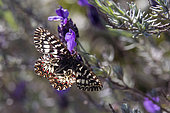 Southern Festoon (Zerynthia polyxena) male on French lavender (Lavandula stoechas) in the maquis in the spring, Massif des Maures, Hyères area, France