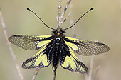 Butterfly-lion (Libelloides coccajus), on a dry grass in a meadow in the spring, Massif des Maures, Hyères area, France