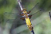 Eurasian red dragonfly (Libellula depressa), on a dry bush in the spring, Massif des Maures, Hyères area, France