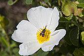 Fairy Longhorn Moth (Nemophora sp) foraging a Sage-leaved Rock Rose (Cistus salviifolius)in the spring, Massif des Maures, Hyères area, France
