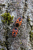 Fire bug (Pyrrhocoris apterus) Couple on a trunk of walnut in spring, Country Garden, Lorraine, France