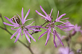 Ragged robin (Silene flos-cuculi) flowers in spring, Forest Lane in Hardwood Forest Lorraine, France