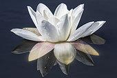 Nenuphar blanc ou Nymphea blanc (Nymphaea alba) Détail d'une fleur au printemps, Etang forestier, Massif de la Reine, Lorraine, France