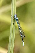 Azure damselfly (Coenagrion puella) Male on a reed leaf in spring, forest pond, massif de la Reine, Lorraine, France