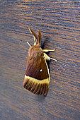 Drinker moth (Lasiocampa quercus) Male on the bottom of a door in summer, Country Garden, Lorraine, France