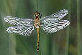 Black darter (Sympetrum danae) female open wings in summer, Peat bog Lispach Vosges, France