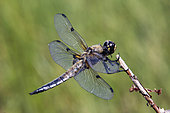 Four-spotted skimmer (Libellula quadrimaculata) on a branch in summer, Lake Blanchemer, Vosges, France