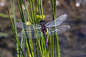 White-faced dragonfly (Leucorrhinia dubia) over the water on reeds in a peat bog in summer, Lake Blanchemer, Vosges, France