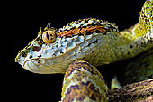 Portrait of Blotched palm-pit viper Bothriechis supraciliaris), endemic Costa Rica