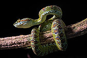 Blotched palm-pit viper Bothriechis supraciliaris), endemic Costa Rica