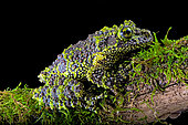 Mossy frog (Theloderma corticale) from Tam-dao Vietnam on black background