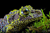 Portrait of Mossy frog (Theloderma corticale) from Tam-dao Vietnam on black background
