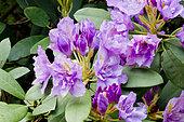 Rhododendron 'Fastuosum Flore Pleno' in bloom in a garden