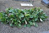 Funérailles écologiques, Le Bergenia fait un joli couvre sol sur les tombes. Gourdon, France