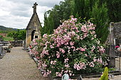 Ecological funeral, Rose 'Castor' in bloom on grave at Saint-Cybranet cemetery, France