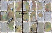 Blue tit (Cyanistes caeruleus) Great tit (Parus major) Tits perched in a broken window, England, Autumn
