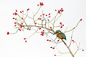 Kingfisher (Alcedo atthis) Female perched amongst rose hips, England