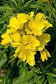 Oenothera fruticosa 'Youngii'
