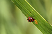 Ladybug (Coccinellidae sp) laying on a blade of grass, France