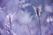 Butterfly (Lycaenidae sp) on an ear of Plantain against the light, France