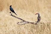 Red-billed hornbill (Tockus erythrorhynchus) and Glossy starling, Botswana