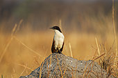 Coucal des papyrus (Centropus cupreicaudus) sur monticule, Moremi, Botswana