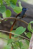 African paradise flycatcher (Terpsiphone viridis) on a branch, Botswana