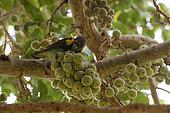 Perroquet de Meyer (Poicephalus meyeri) mangeant des figues, Botswana