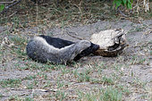 Honey badger (Mellivora capensis) eating a leopard tortoise, Botswana
