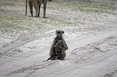 Chacma baboon (Papio ursinus) female and a dead baby, Botswana