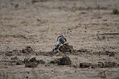 Red-billed hornbill (Tockus erythrorhynchus) with a rodent in the bill, Botswana