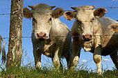 Charolaise cows (Bos taurus) in a meadow, Bretagne, France