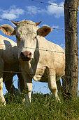 Charolaise cow (Bos taurus) in a meadow, Bretagne, France