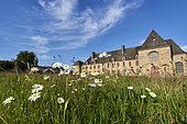 Oxeye daysy flowers (Leucanthemum vulgare) in forground of an historical convent, Brittany, France