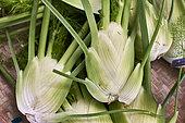 Organic fennel (Foeniculum vulgare), Brittany, France