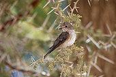 Spotted flycatcher (Muscicapa striata), Saudi Arabia