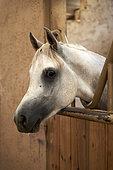 Portrait of Arabian horse (Equus caballus) in box, Saudi Arabia