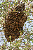 Hive of Yemeni honey bee (Apis melifera jemenitica) in acacia tree, Saudi Arabia
