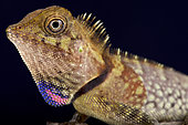 Portrait of Bell's angle head lizard (Gonocephalus bellii) on black background