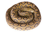Russell's viper (Daboia russelii) on white background