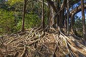 Indian Banyan, Hong Kong Island, China
