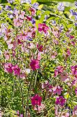 Nicotiana sanderae 'Whisper Rose'